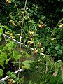 Salvia Amber - Flickr - peganum (1).jpg