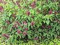 Salvia sp 11.jpg