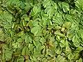 Salvinia auriculata3.JPG