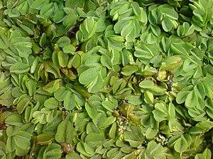 Round-leaved floating fern (Salvinia auriculata)