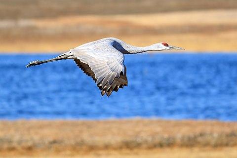 Sandhill crane (Antigone canadensis) in flight over Llano Seco, Butte County, California