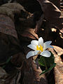 Sanguinaria canadensis - Bloodroot.jpg