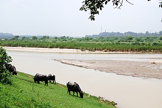 Rupnagar district - Cattle grazing on the banks of river Sutlej