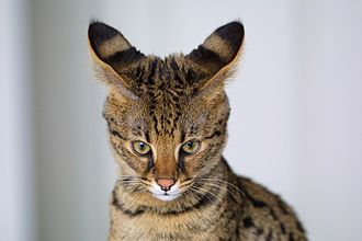 Savannah cat - Close-up showing ocelli behind the ears and tear-stain markings below the eyes on a four-month-old F1 Savannah