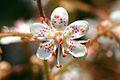 Saxifraga In Flower In Garden. Hampshire UK.jpg