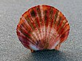 Scallop shell. (22635350606).jpg
