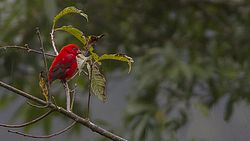 Scarlet Finch Khangchendzonga National park West Sikkim India 30.10.2015.jpg
