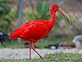 Scarlet Ibis (Eudocimus ruber) RWD.jpg