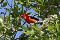 Scarlet Tanager (male) Hooks Wood High Island TX 2018-04-10 10-21-55 (41544984362).jpg