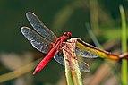 Scarlet dragonfly (Crocothemis erythraea) male.jpg