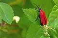 Scharlachroter Feuerkäfer (Pyrochroidae) IMG 2591.jpg