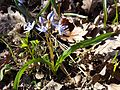Scilla drunensis sl17.jpg