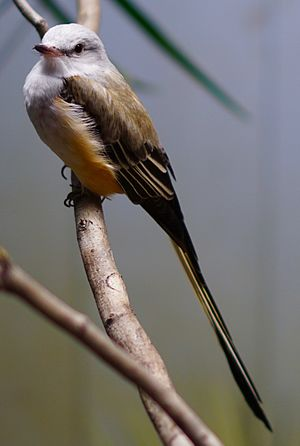 Scissor-tailed flycatcher - Image: Scissor tailed Flycatcher at the National Aviary