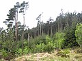 Scots pines in Rostrevor Forest - geograph.org.uk - 441823.jpg