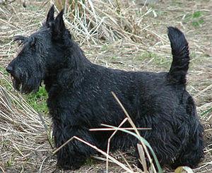 Kennel Club Stud Dog Form