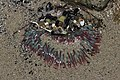 Sea anemone (41369323220).jpg