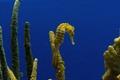 Sea horses at Monterey Bay Aquarium, Monterey, California LCCN2013632043.tif
