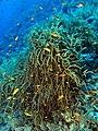 Sea plume (6163161807).jpg