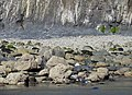 Seal pup on the rocks - geograph.org.uk - 1499628.jpg