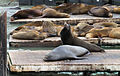Sealions on Pier 39, SF, CA, jjron 26.03.2012.jpg