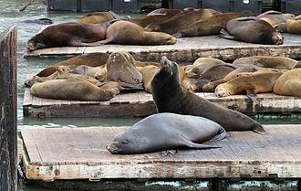Pier 39 - Sea lions on Pier 39