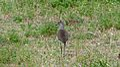 Senegal Lapwing (Vanellus lugubris) (6025880938).jpg