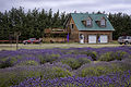 Sequim, WA — Olympic Lavender Farm — 002.jpg