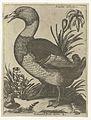 Serie van 9 vogels- Anatra Saluatica.jpeg