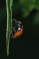 Seven-spotted Ladybird (Coccinella septempunctata) - Guelph, Ontario 01.jpg