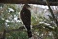 Sharp-shinned Hawk, Boston, Massachusetts 1.jpg