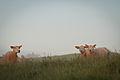 Sheep IMG 3352.jpg