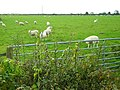 Sheep Near Cockpool - geograph.org.uk - 565440.jpg