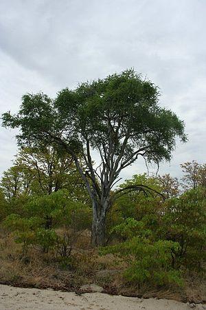 Boscia albitrunca - A Shepherd's tree in Botswana with characteristic white bark