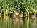 Short-billed Dowitchers (3 of 12), Caledonia Sewage Ponds, May 10, 2012 (7172084974).jpg
