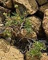 Shrubby Cinquefoil (Dasiphora fruticosa) - Gros Morne National Park, Newfoundland 2019-08-17 (05).jpg