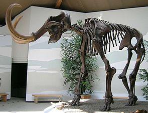 Skelettrekonstruktion eines Wollhaarmammuts im Mammutheum in Siegsdorf Bayern