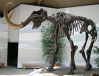 An extinct species of mammoth from the Pleistocene epoch