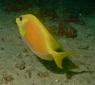 Blue-spotted spinefoot - Image: Siganus corallinus, Malasia