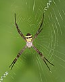 Signature spider @ Kanjirappally 01.jpg