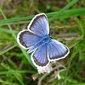 Silver-studded Blue. Plebejus argus. Male. - Flickr - gailhampshire.jpg