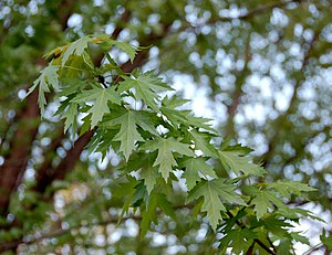 Acer saccharinum - Silver maple leaves