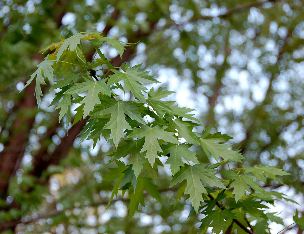 Silver Maple Acer saccharinum Leaves 2598px