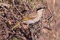 Singing Honeyeater (Gavicalis virescens) (8079661576).jpg