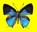Sinthusa natsumiae male upperside.jpg