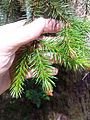 Sitka spruce needles - Flickr - brewbooks.jpg