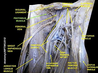 Pectineus muscle - Image: Slide 13LLLL
