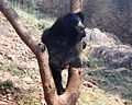 Sloth bear at IGZoopark in Visakhapatnam.jpg