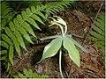 Small-whorled pogonia (4751531697).jpg