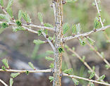 Small Larix-1.jpg