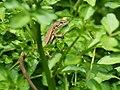 Small Lizard トカゲ (216794611).jpeg